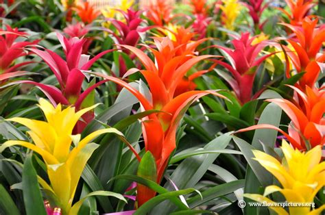 different types of bromeliads with pictures bromeliad plant picture 20