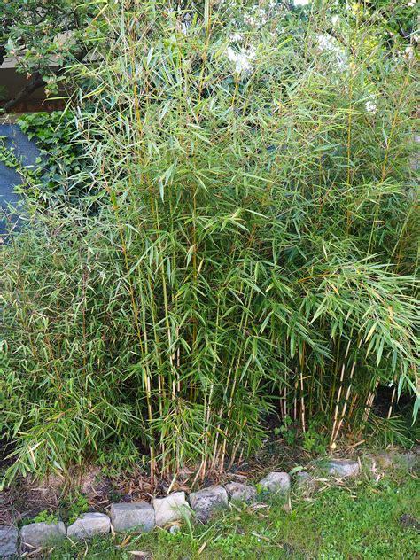 bambou non traçant pour haie bien choisir des bambous non tra 231 ants pour une haie dkomag