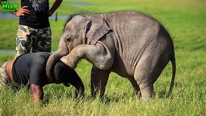 Elephant Playing Adorable Wildlife Around Elephants Wild