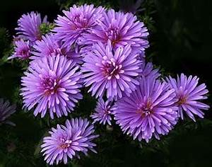 Flowers & Planets: September Aster Flowers