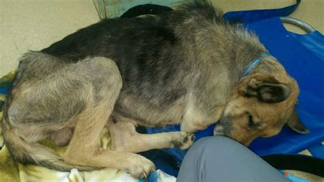 rescue groups working  save german shepherd left chained