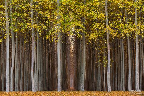 Autumn Poplars | Morrow County, Oregon | Kris Sproul Photography