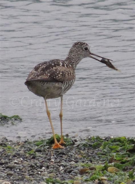 shore birds at whiffin spit craftygardener ca