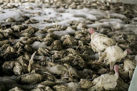 file avian influenza roee shpernik 09 jpg wikimedia commons