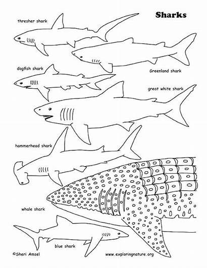 Shark Coloring Whale Pages Sharks Printable Tiger