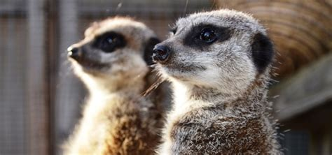 wildlife experience  cheshire meeting  meerkats