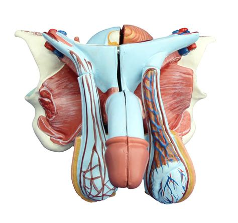 The flip charts at mentone educational are popular with general practitioners and schools. Male Genital Organ Model