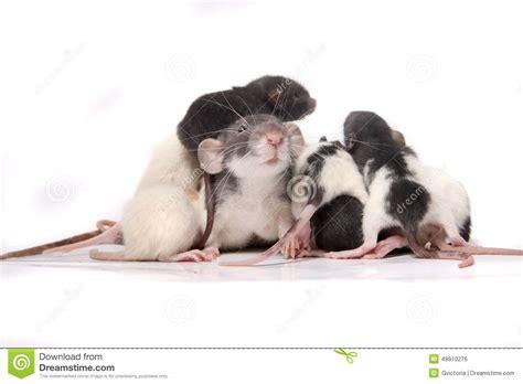 Baby Rats Climbing On Mom Rat Stock Photo - Image: 48910276