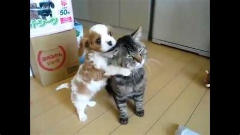 Cavalier King Charles Puppy Vs Cat Youtube