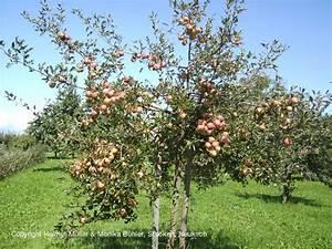 Großen Apfelbaum Kaufen : helmut m ller alte apfelsorten birnen pflaumensorten ~ Lizthompson.info Haus und Dekorationen