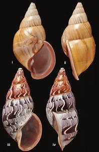 Sultana  Metorthalicus  Yatesi  Pfeiffer  1855  I