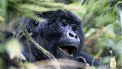 Gorilla Monkey Face Screensavers Eyes Screensaver Gorillaz