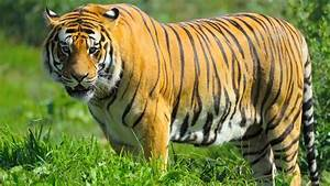 Wild Tiger Gets into a Zoo to Mate with Female Tigers ...