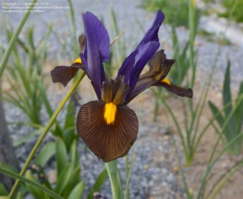 iris eye of the tiger plantfiles pictures dutch iris eye of the tiger iris x hollandica by potemup