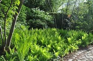 Acheter Des Plantes : matteuccia pensylvanica plantes vivaces acheter des plantes en ligne ~ Melissatoandfro.com Idées de Décoration