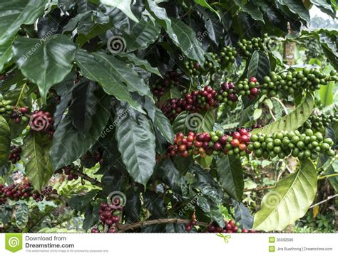 Coffee Trees Stock Photo. Image Of Ripe, Green, Plant Clean Coffee Maker Without Vinegar Or Lemons Sumatra World Market How It's Made Decaf K Cups For Cleaning The Keurig Cold Brew Ratio Oz Capresso With