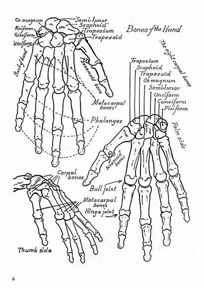 Anatomy Coloring Pages Human Physiology Drawing Muscles