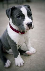 grey and white baby pitbull   Furry friends   Pinterest ...