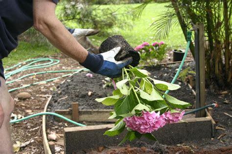 wann hortensien pflanzen hortensien pflanzen 187 wann ist der beste zeitpunkt