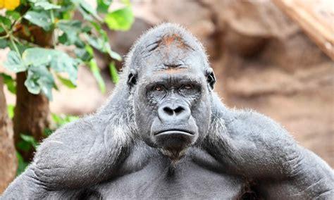 gorila de montana caracteristicas   donde vive