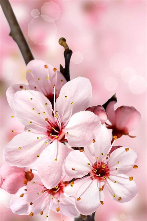 A cherry blossom is the flower of any of several trees of genus prunus, particularly the japanese cherry, prunus serrulata, which is sometimes called sakura after the. Cherry Blossoms   Cherry blossom wallpaper, Cherry blossom art, Blossoms art