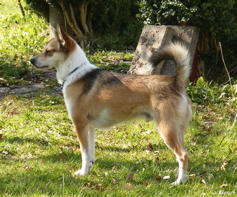 norwegian lundehund breed guide learn