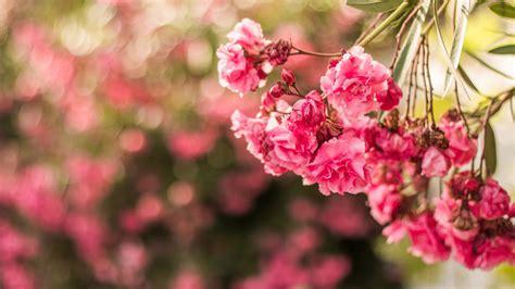 wallpaper pink flowers flora macro hd  flowers