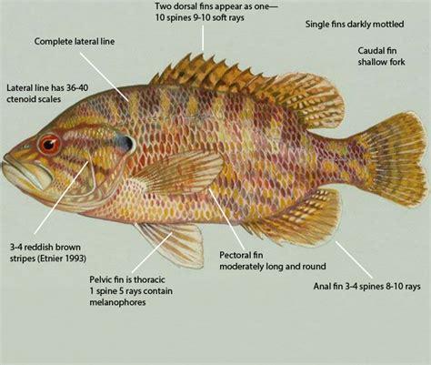 fishes  mississippi mississippi state university