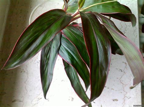 Cordyline fruticosa - Ti plant - Flowgrow Aquatic Plant ...