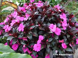 Life Ramblings: Today's Flowers - Impatiens