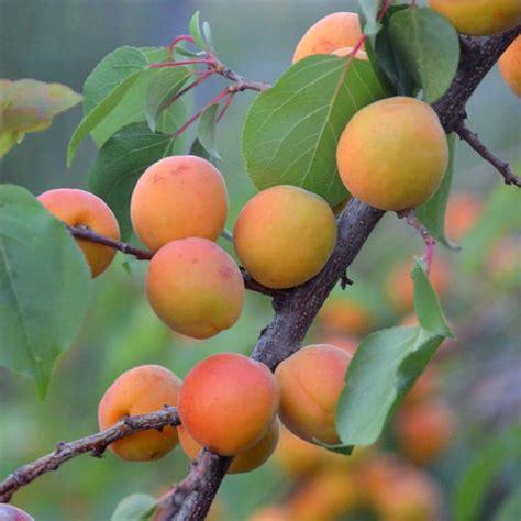 Seeds for Manchurian Apricot   Prunus armeniaca var ...