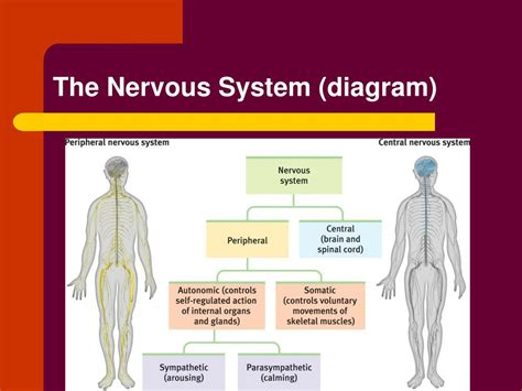 The central nervous system (cns) is that portion of the vertebrate nervous system that is composed of the brain and spinal cord. Nervous System Diagram Psychology - A great set of activities that will help you accomplish ...
