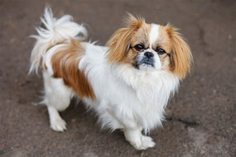 pekingese dog breed information facts  care