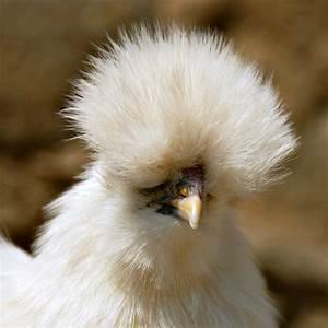 Silkie Chickens... Silkies