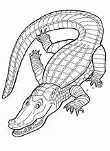 Coloring Alligator Printable Pages sketch template