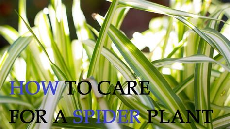 How To Care For A Spider Plant Youtube