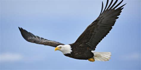 Bald Eagle Images West Nile Virus Blamed For Of Dozens Of Bald Eagles