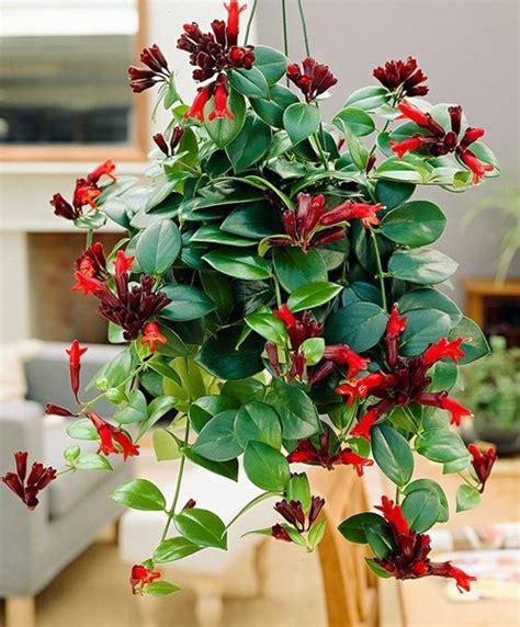 Zimmerpflanzen für dunkle Räume Schamblume