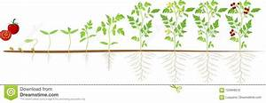 Early Stage Tomato Plant Growth Timeline