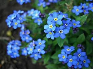 niezapominajki kwiaty