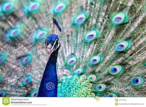 bright colorful peacock stock photo image