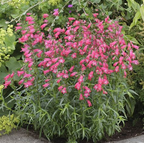 flowers to plant in penstemon species plantinfo everything and anything about plants in sa