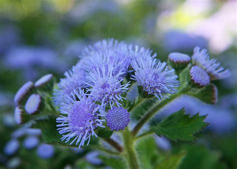 mosquito plant repellent garden myth citronella geranium vs 5 easy to grow mosquito repelling plants that work auntie