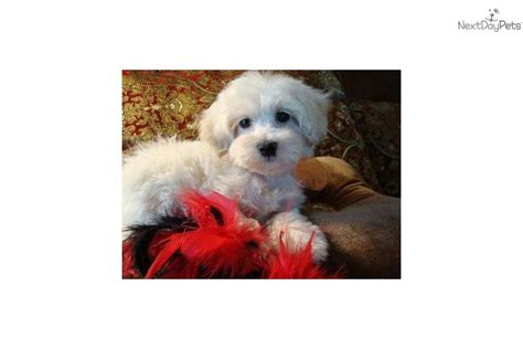 No Shed Food by Meet Lawson A Malti Poo Maltipoo Puppy For Sale For