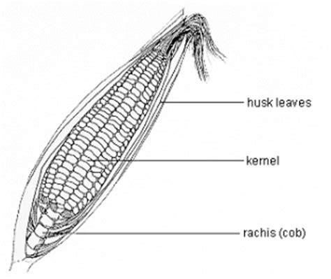 musuh alami predator morfologi tanaman jagung