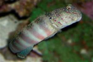 Gobies do not confused them with Blennies