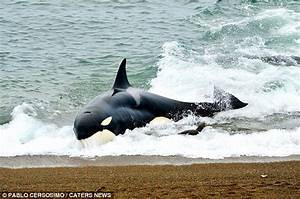 Sea lion escapes killer whale by fleeing to the beach but ...