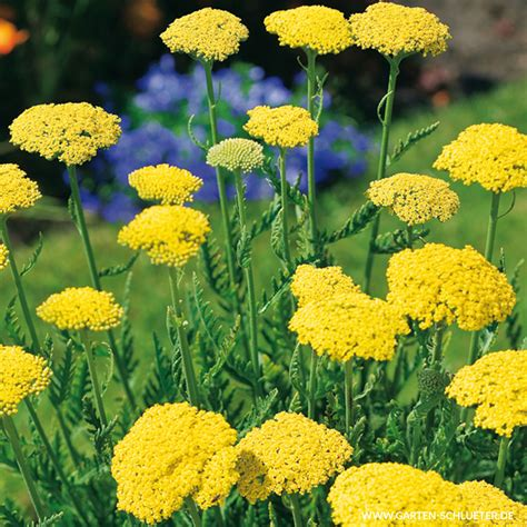 Schafgarbe 'summer Gold'  Achillea Filipendulina