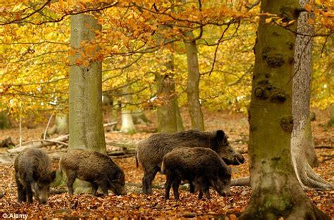 lambs killed  vets fear wild boars  developed