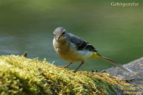 Vogelwelt Im Eigenen Garten Kleiber by Harald Brunbauer Heimische V 246 Gel 12 2017 Fotoklub St